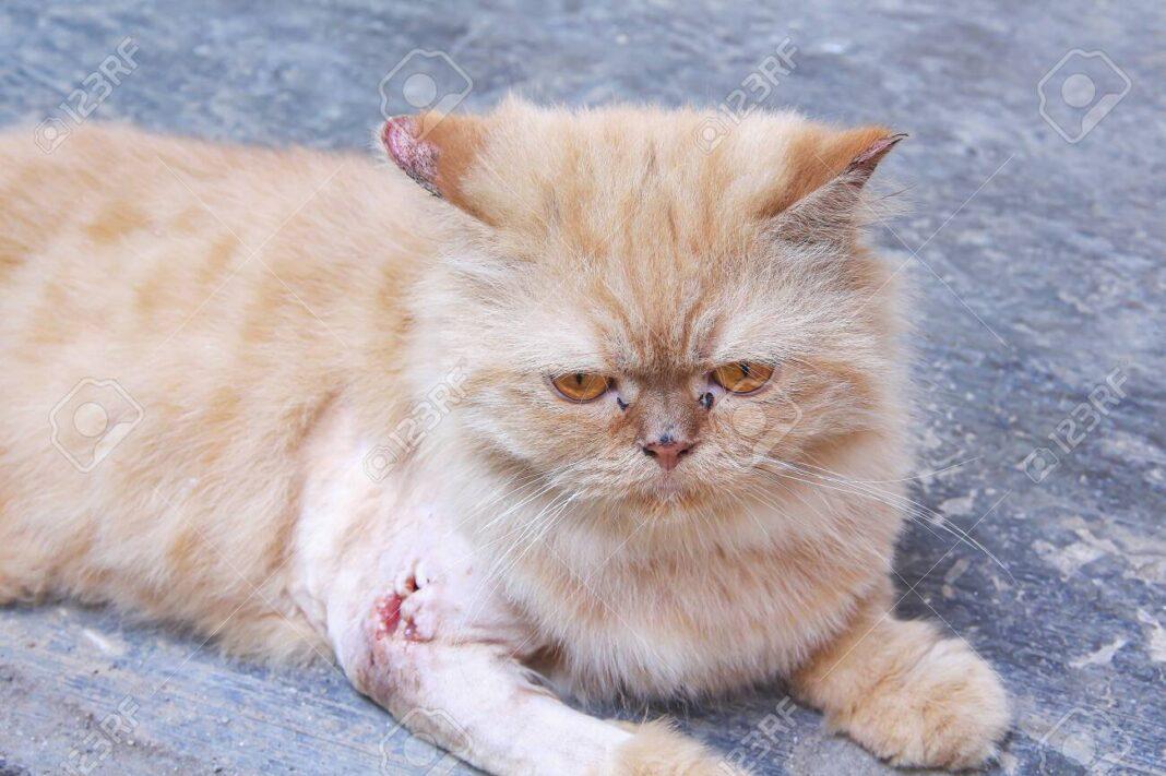 Cách trị nấm cho mèo