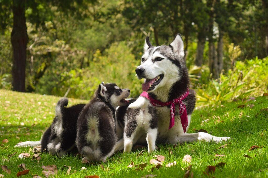 Những điều cần biết khi chăm sóc chó Alaska mang thai