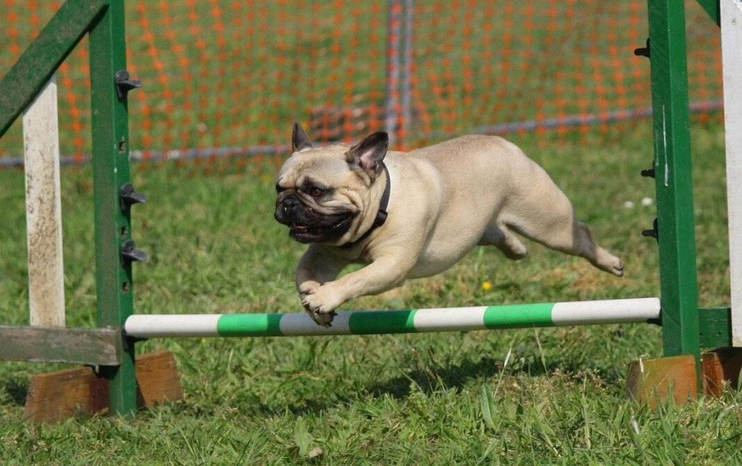 Hướng dẫn huấn luyện chó Pug tại nhà