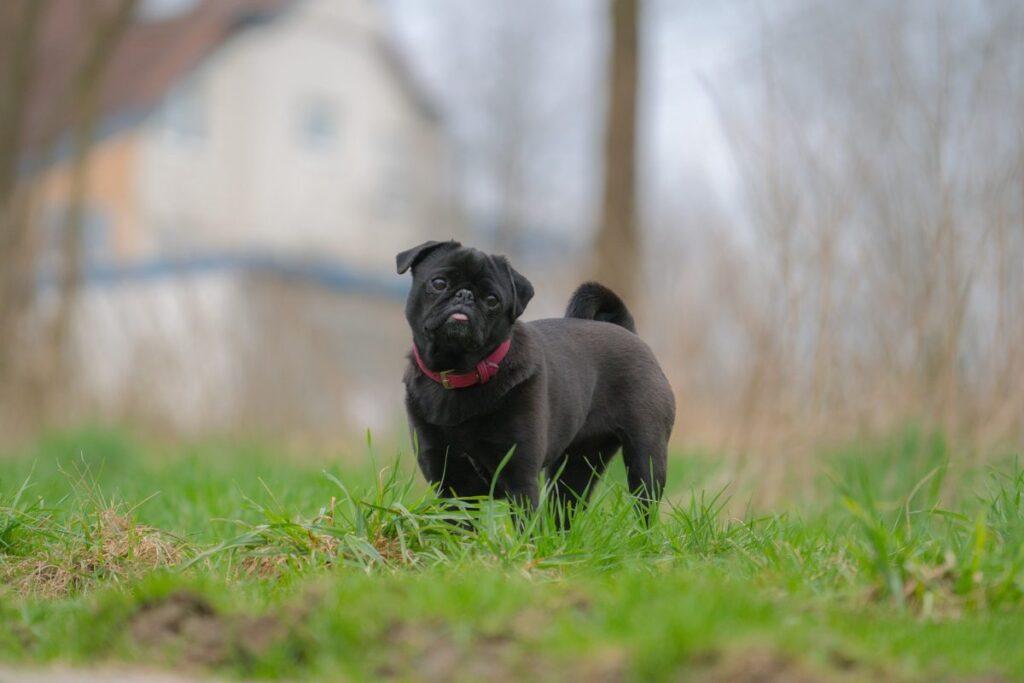 Huấn luyện chó Pug cơ bản
