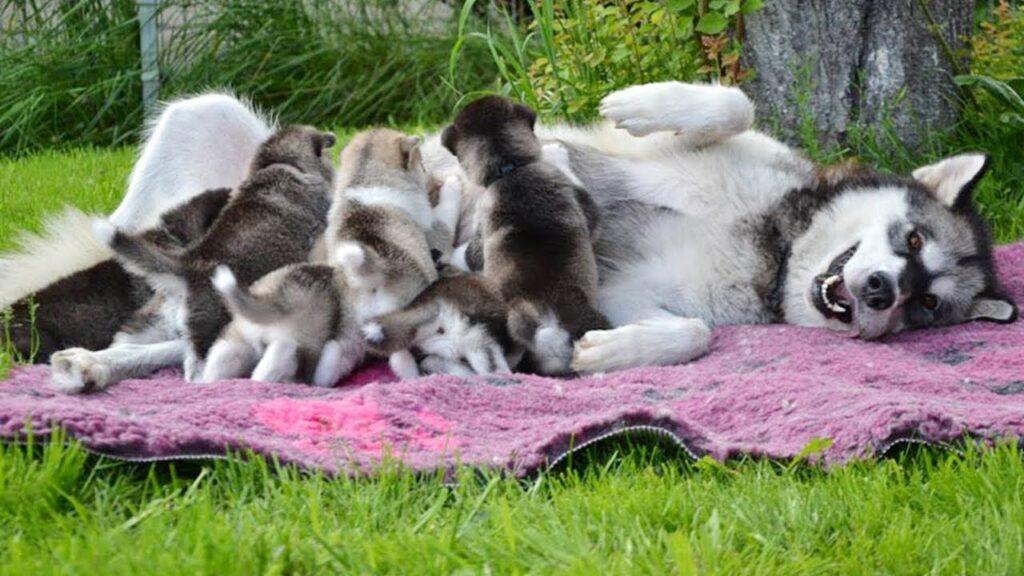 Hướng dẫn chăm sóc chó Alaska mang thai