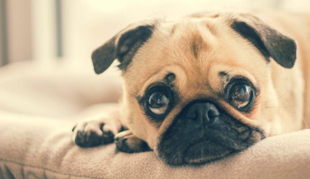 Kinh nghiệm nuôi chó Pug